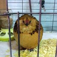 cheerfulchicken