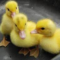 Ducklings4sale