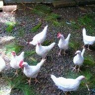 chickencoop97