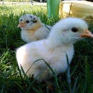 Henne Chick