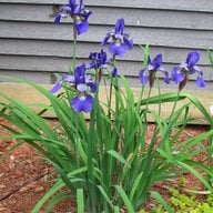 Lilacs7Hens
