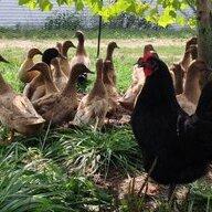 ChickDuck mom