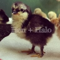 Hen and Halo