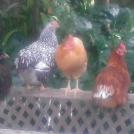 Chickenlover26