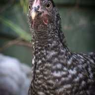 Chicken Kat ZA