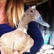 DuckyChickens11