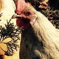 lovechickens5
