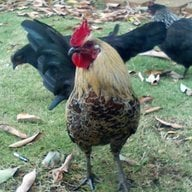 chicken moma