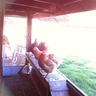 Tahoe Chickens