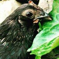 Chickgirl3