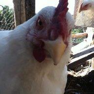 Chicken man15