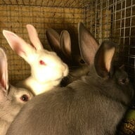 rasta rabbitri