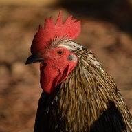clucking around