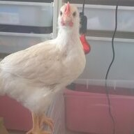 ChickenkeeperD