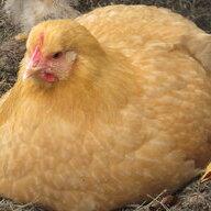 Chicken Girl1