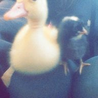 goose-goose