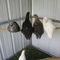 chickengarden4