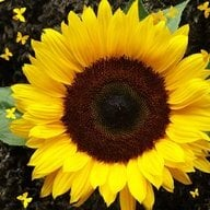 sunflower7
