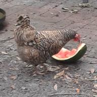 chickensamazing