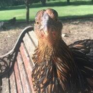 chicken4prez