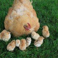 ChickenLover741