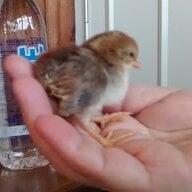 chickendreams24
