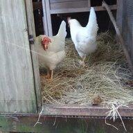 new2chickens81
