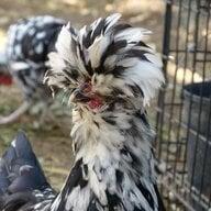 chickencraz
