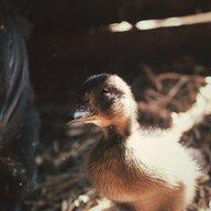 Duckstruck
