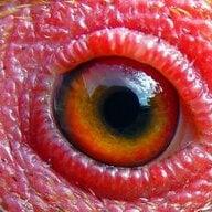 Chicken-Eye