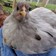 1crazy4chickens