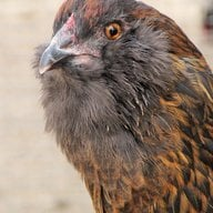 Chicken5555