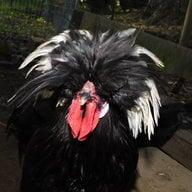 Chickensfan