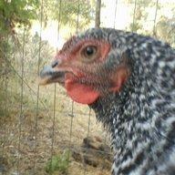ChickFanatic8