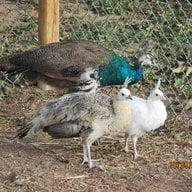 pittmanbirds