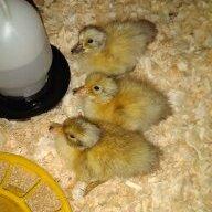 clucknquack