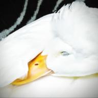 Quackmeister