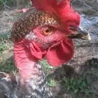 Chickenunsernam
