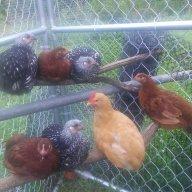 chicken opey