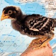 Tres Pollos