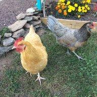 Chick N Mom 3