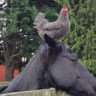 horsesNchicks