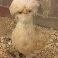 Chickenmama15