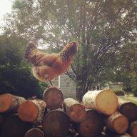 Chicken girl lover! 101