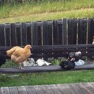 ChickenyChickeny