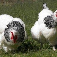 chickenlover chickencrazy