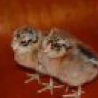Chicken0Boy