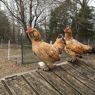 ChickenMommy83