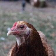Brahma Chicken5000