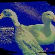 Quacky4Quackers